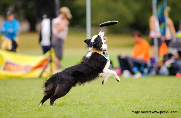 dog_playing_with_flying_disc.jpg