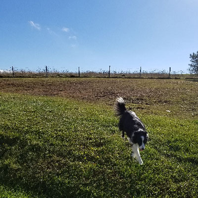 Training Border Collie to Use Invisible Fence on large property